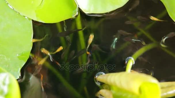 Vodní lilie listy plovoucí na povrchu, malé ryby viditelné ve vodě