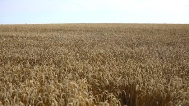 Gold field of ripe yellow wheat under blue sky in Czech republic