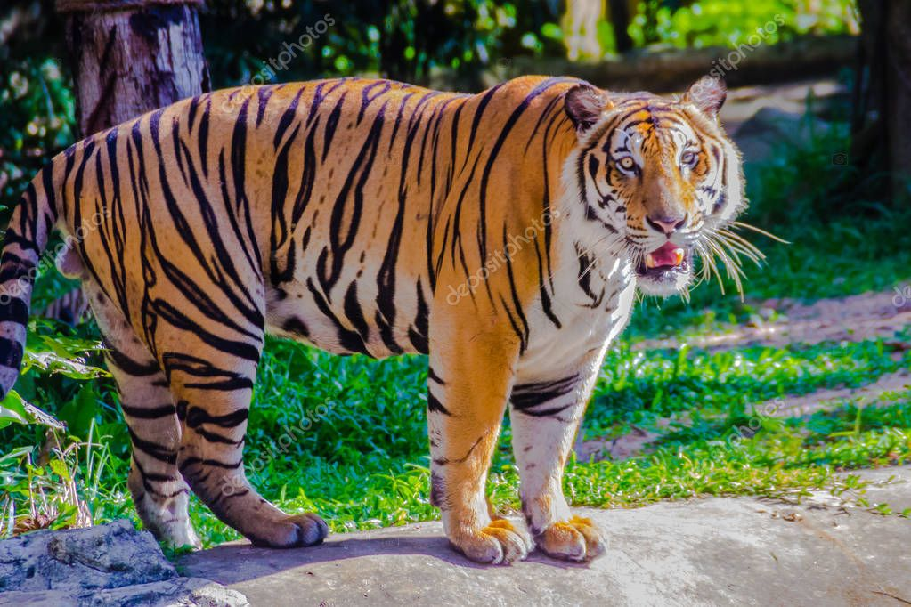 The Indochinese tiger (Panthera tigris tigris), a tiger population that lives in Myanmar, Thailand, Lao PDR, Vietnam, Cambodia and southwestern China. It has been listed as Endangered.