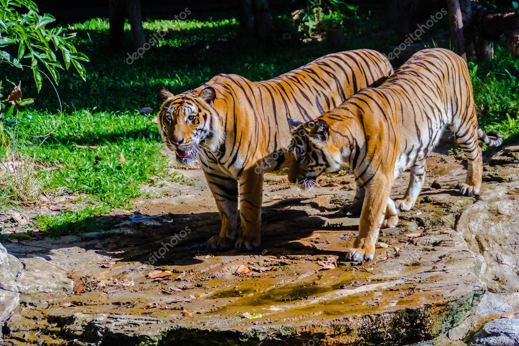 Couple of the Indochinese tiger (Panthera tigris tigris), a tiger population that lives in Myanmar, Thailand, Lao PDR, Vietnam, Cambodia and southwestern China. It has been listed as Endangered.