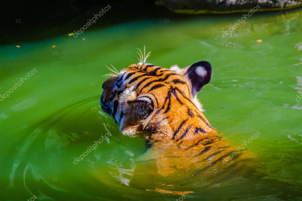 Indochinese tiger is swimming in the river. Indochinese tiger (Panthera tigris tigris), a tiger population that lives in Myanmar, Thailand, Lao PDR, Vietnam, Cambodia and southwestern China. It has been listed as Endangered.