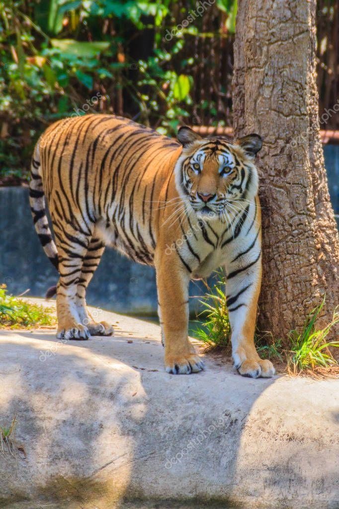 Indochinese tiger, or Corbett's tiger, or Panthera tigris corbetti is walking