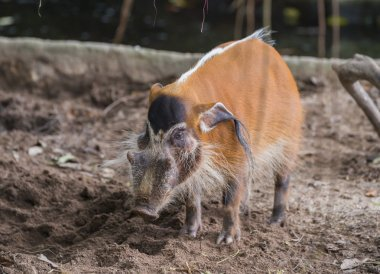 Red river hog (Potamochoerus porcus) with a white stripe on the back is on the ground in Singapore zoo