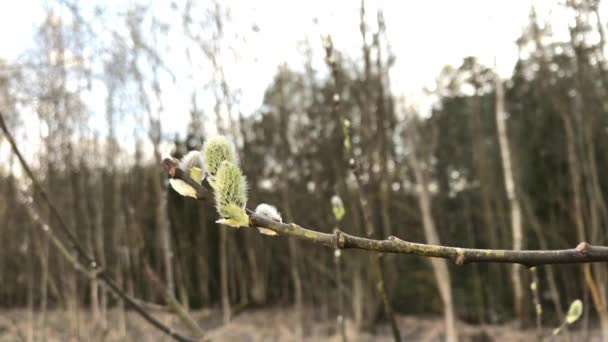 Virágzó rügyek ágak egy bokor sway a szélben