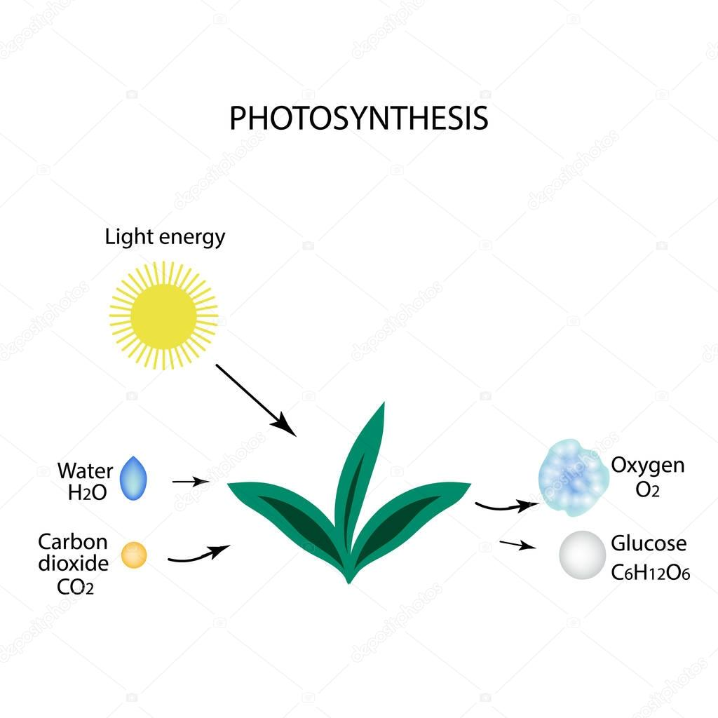 Photosynthesis. The plant is in the sun. Water, carbon ha, oxygen, glucose. Infographics. Vector illustration on isolated background
