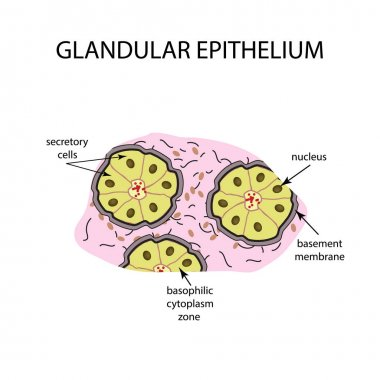 The structure of the glandular epithelium. Infographics. Vector illustration on isolated background