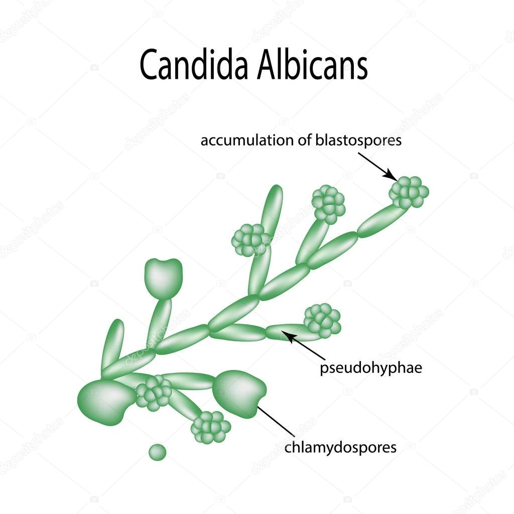 Structure of Candida albicans. Infographics. Vector illustration on isolated background