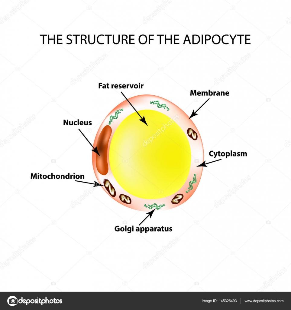 La estructura anatómica de las células de grasa. Adipocito ...