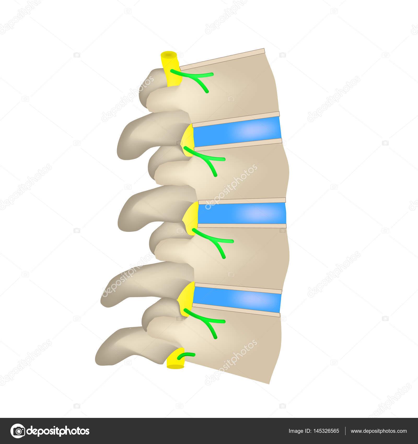 La estructura de la columna vertebral. Vista lateral. Los discos ...