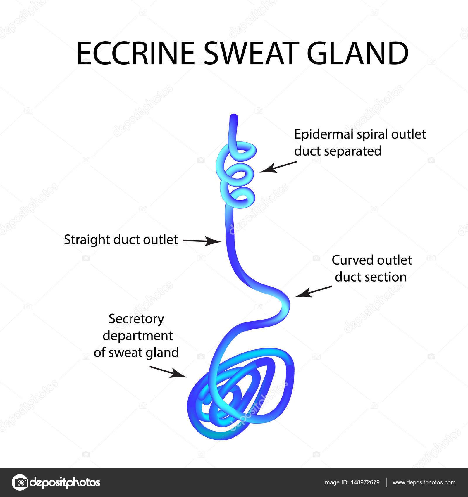 Struktur der Ekkrinen Schweißdrüsen. Infografiken. Vektor ...