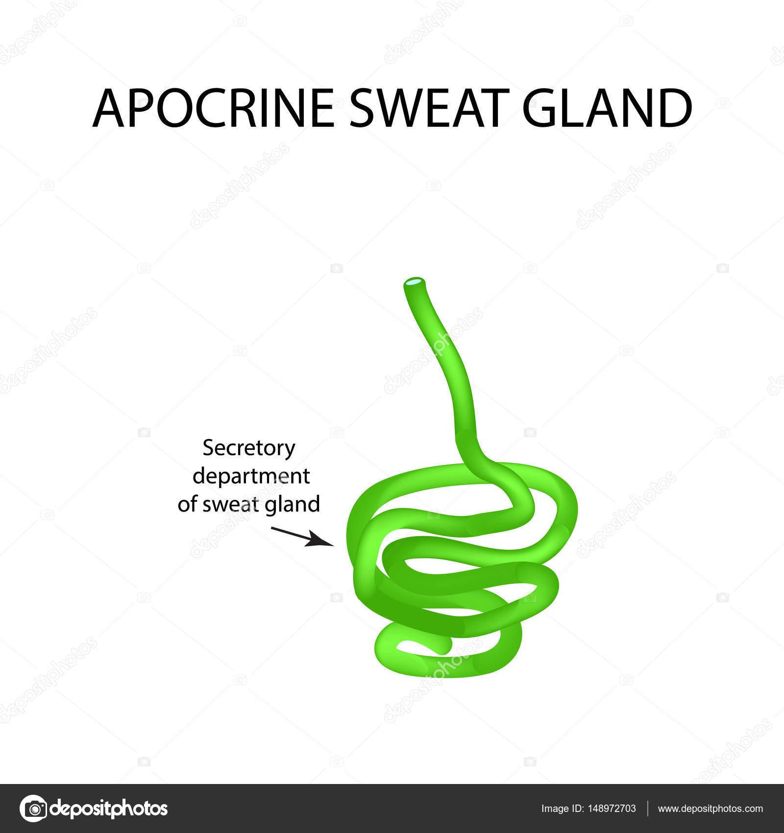 Estructura las glándulas sudoríparas apocrinas. Infografía ...