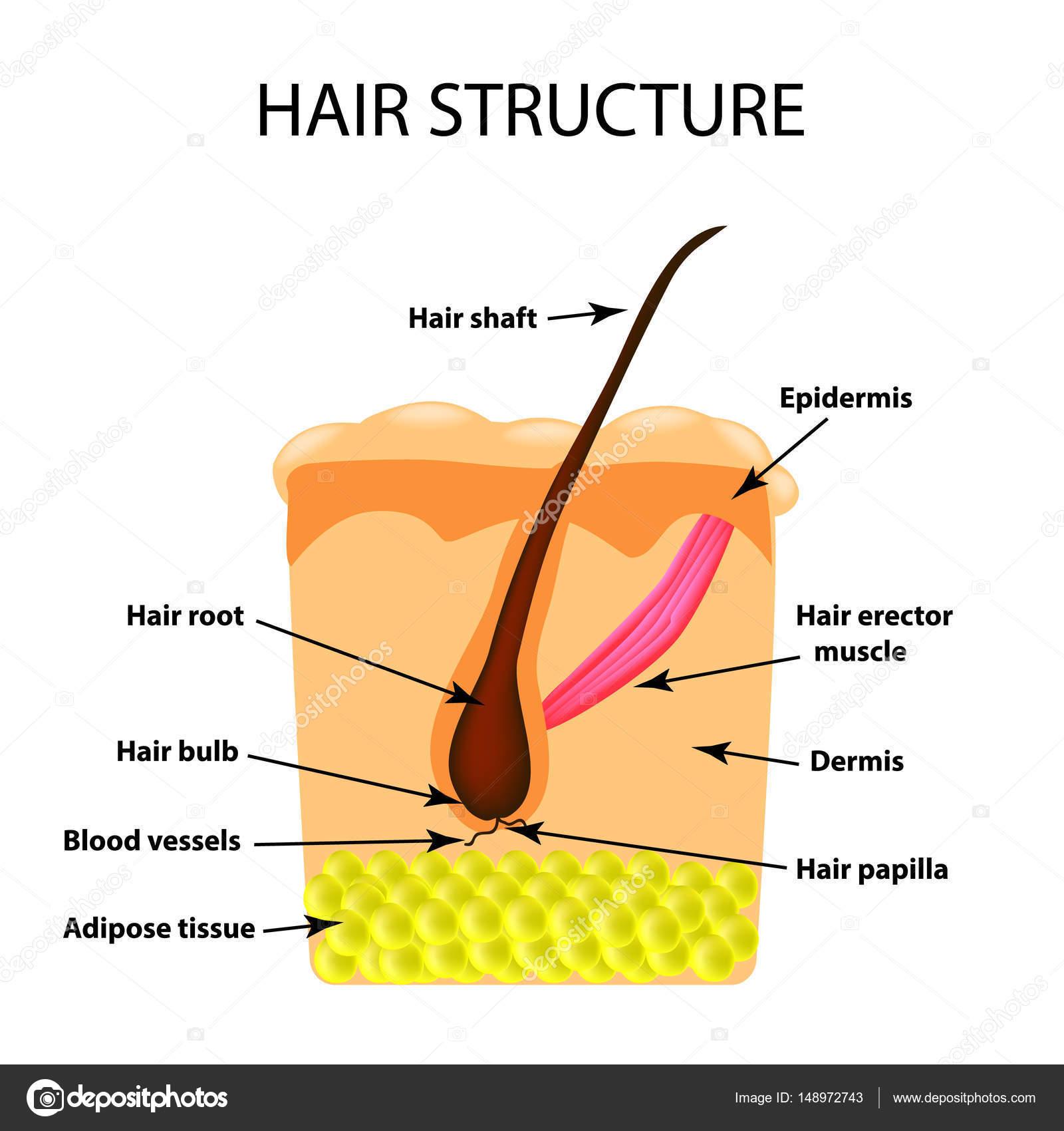 Die Struktur des Haares. Infografiken. Vektor-Illustration auf ...