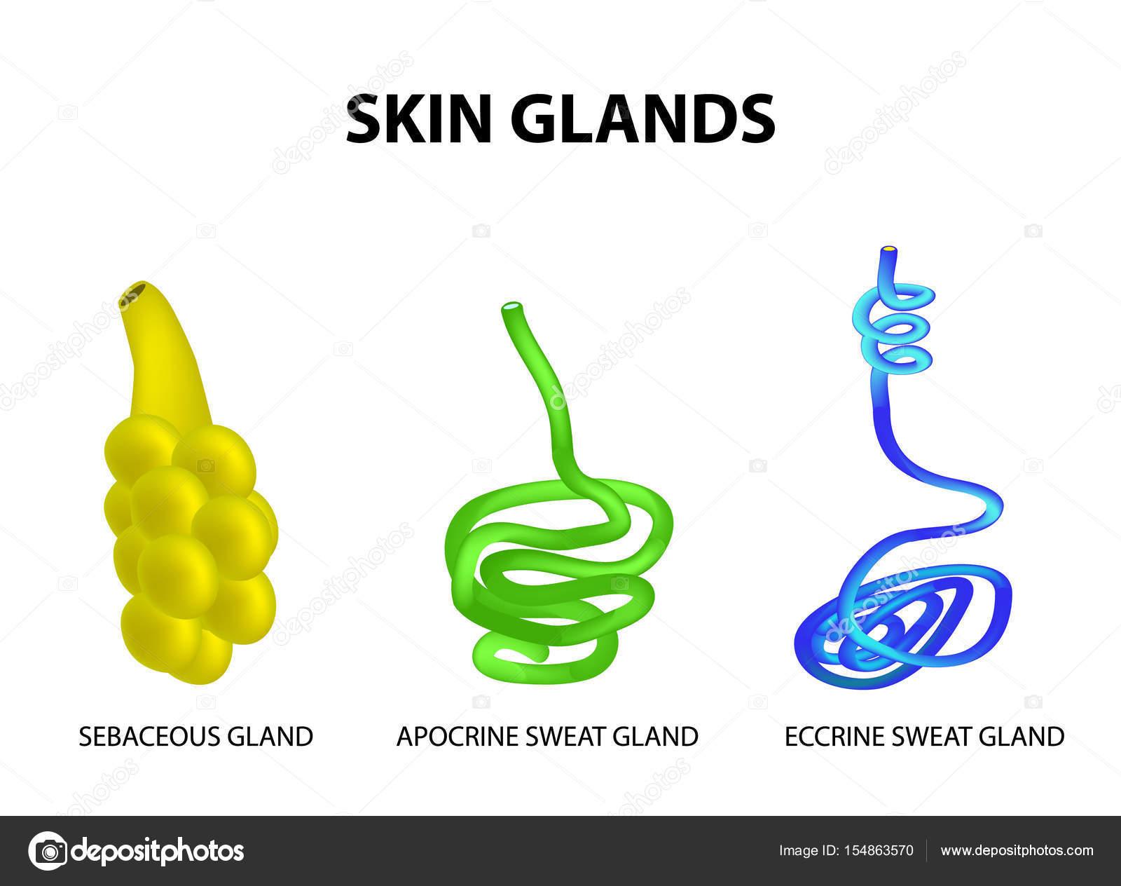 Die Struktur der Drüsen der Haut. Talg, ekkrinen Schweiss, apokrine ...