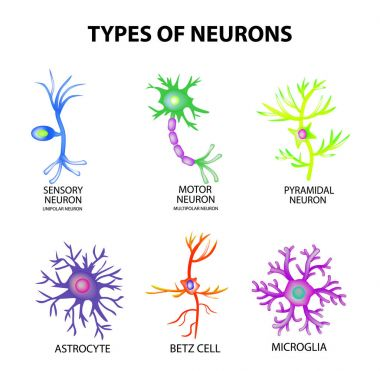 Types of neurons. Structure sensory, motor neuron, astrocyte, pyromidal, Betz cell, microglia. Set. Infographics. Vector