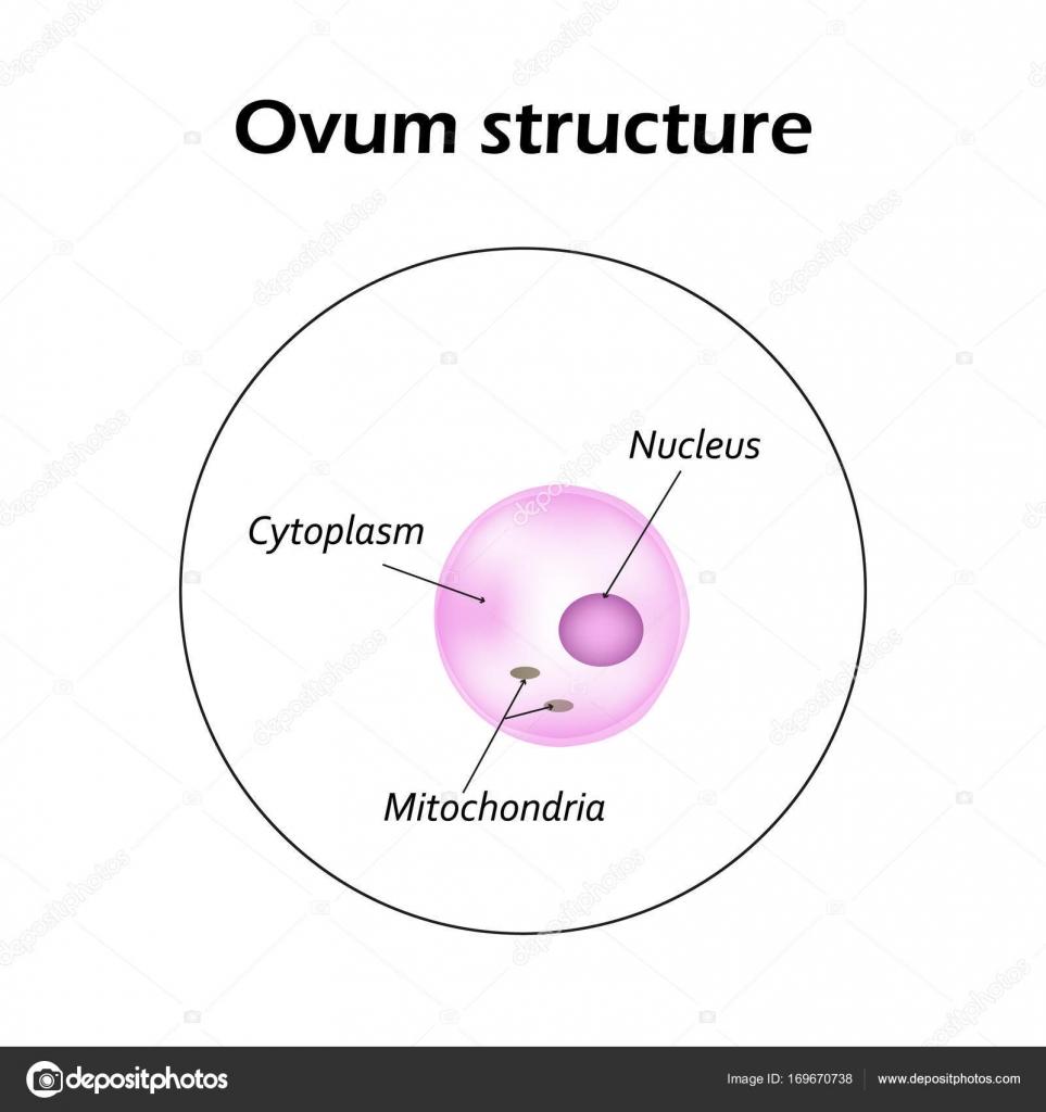La Estructura Del óvulo Infografía Ilustración De Vector