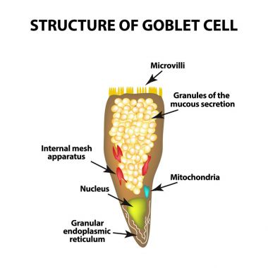 Structure Goblet cells of the intestine. Infographics. Vector illustration on isolated background