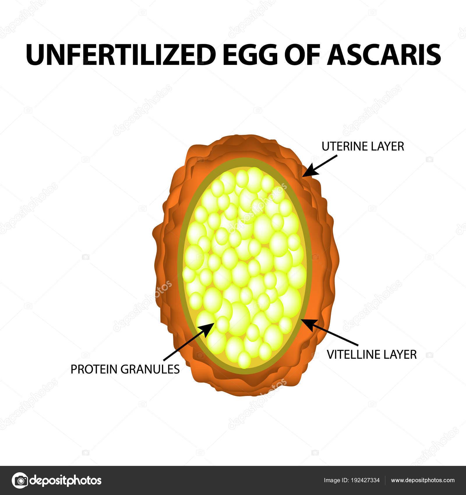 Ascaris tojás