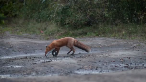 Wild Red Fox (Vulpes vulpes) feeding in a field at the edge of a wood. An adult Red Fox hunting and finding some food at the forest meadow.