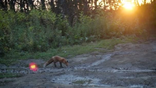 Vad Vörös Róka (Vulpes vulpes) táplálkozik egy mezőn, az erdő szélén. Egy felnőtt Vörös Róka vadászik és élelmet talál az erdei réten..