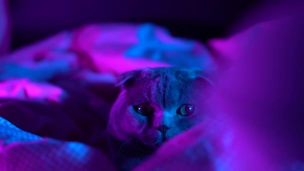 4K Portré szürke szőrös játékos vadász macska divat stílusban. Stúdió neon fényfelvétel. Luxus hazai macska fekete sötét háttérrel. Vidám színes videó