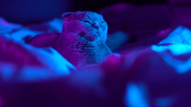 4K Portré szürke szőrös álmos alvó macska divat stílusban. Stúdió neon fényfelvétel. Luxus hazai macska fekete sötét háttérrel. Vidám színes videó