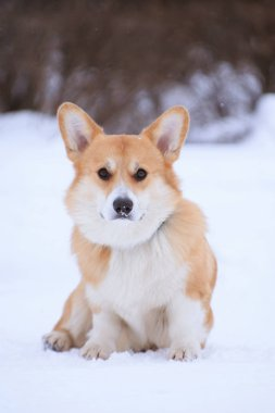 Welsh Corgi Pembroke red dog sits in the winter on snow