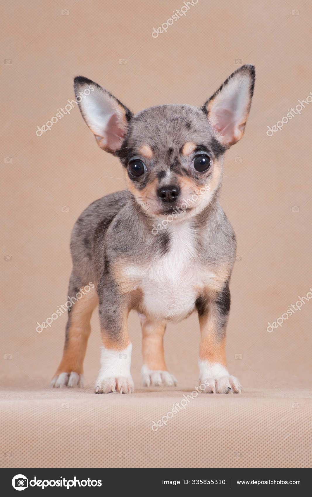 Chihuahua Puppy Color Merle In The Studio On A Beige Background Stock Photo C Katamount 335855310
