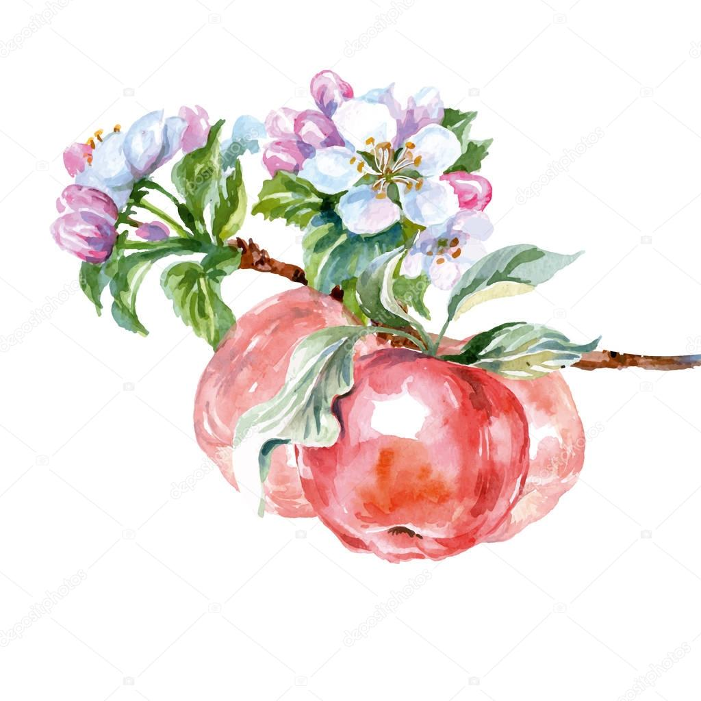 Watercolor apple tree branch with flowers and apples. Spring background. Vector