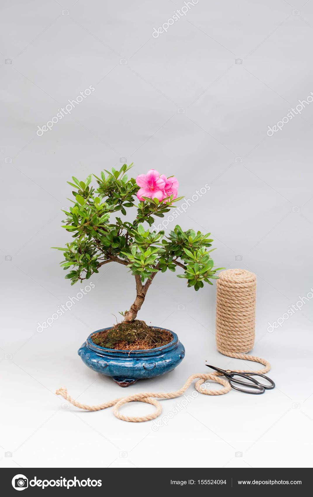 https://st3.depositphotos.com/3830791/15552/i/1600/depositphotos_155524094-stock-photo-blooming-bonsai-azalea-on-a.jpg