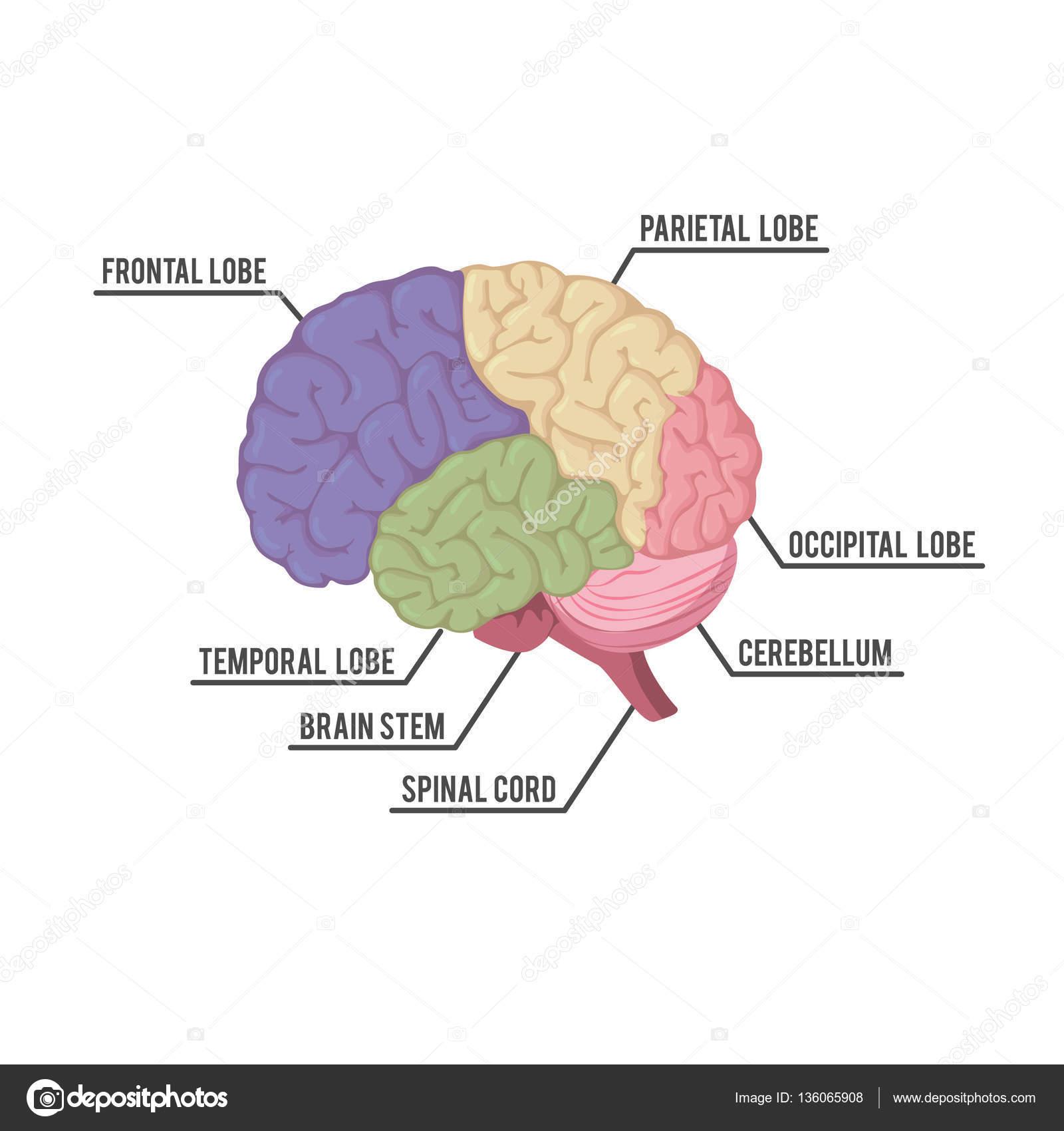 diseño de ilustración de partes de cerebro humano — Vector de stock ...