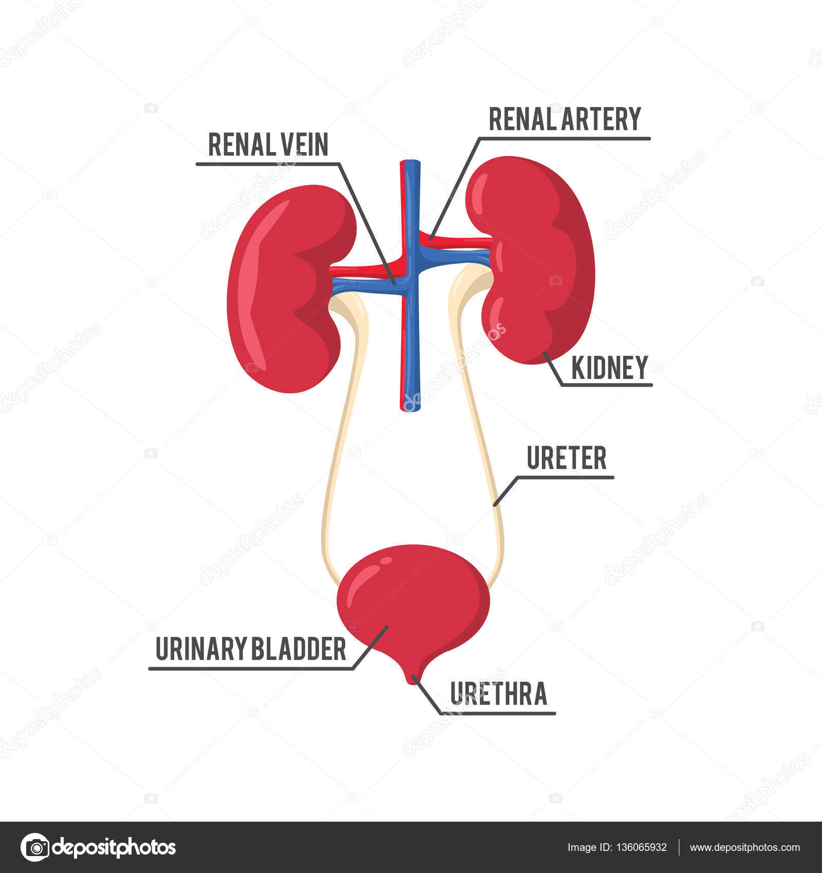 urinary system anatomy illustration design — Stock Vector ...