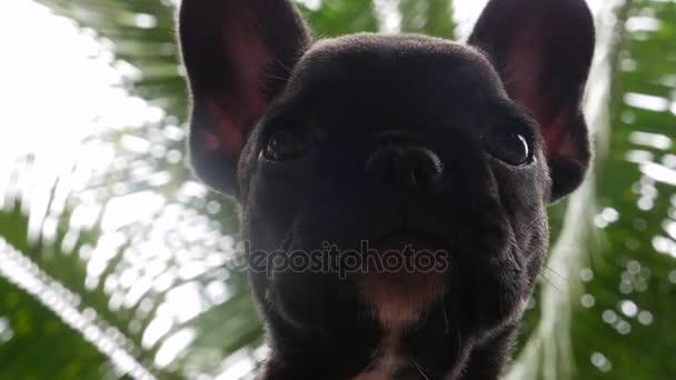 Közeli kép a baba francia bulldog