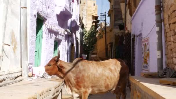 Jaisalmer, Indie - cca listopadu 2016: Kráva Jaisalmer, Indie