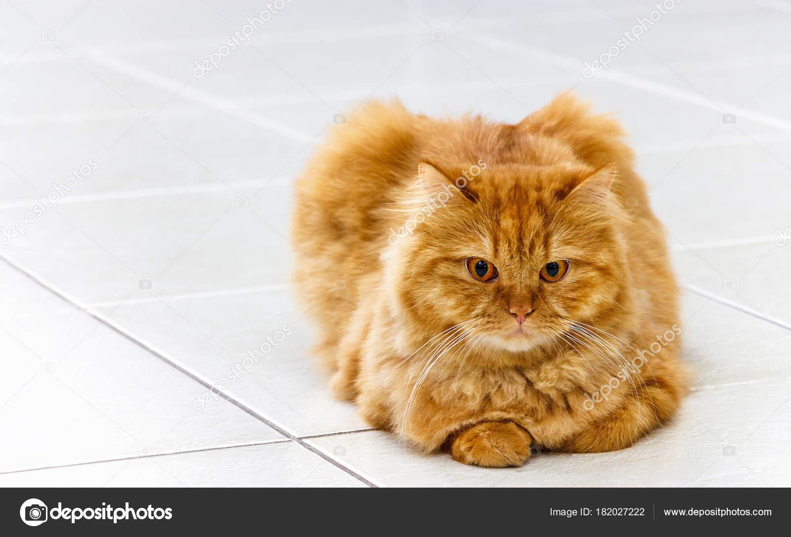 Gatto ginger lanuginoso con gli occhi gialli che trova sul u foto