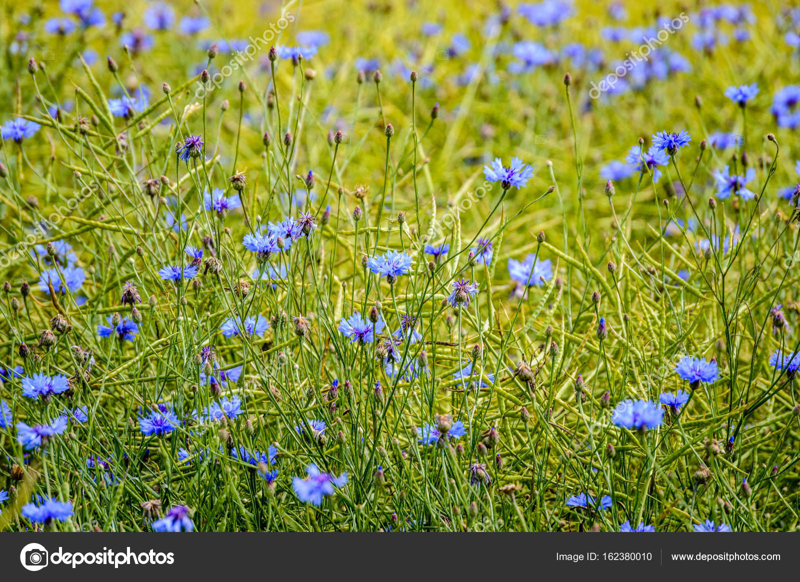 Blue Spring Flowers On Green Background Stock Photo