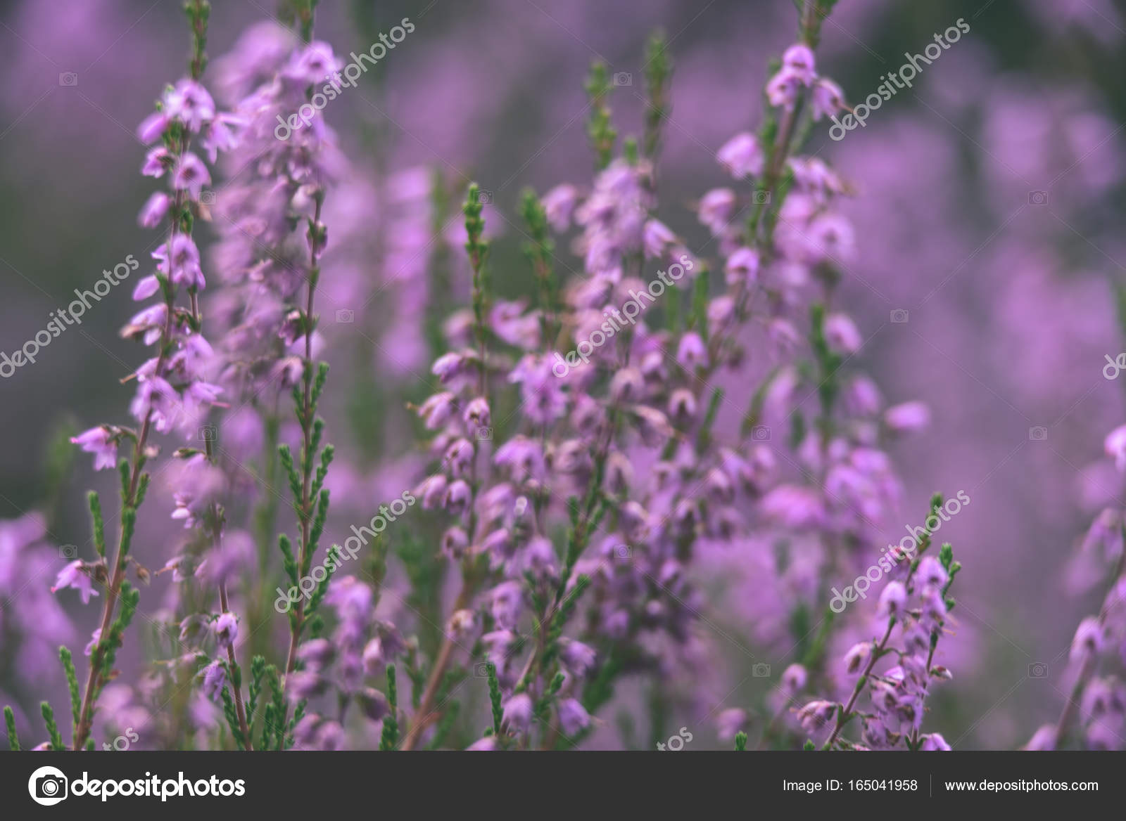 Forest Heather Flowers And Blossoms In Spring Vintage Film Loo