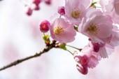 Fotografie Sakura Flower or Cherry Blossom With Beautiful Nature Background