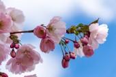 Fotografie Sakura květina nebo třešňový květ s krásnou přírodou pozadím