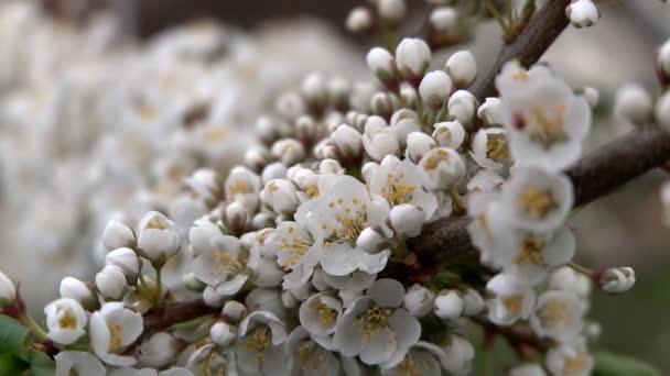 Jarní kvetoucí švestky. Detail.