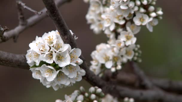 Spring flowering plums. Close-up.