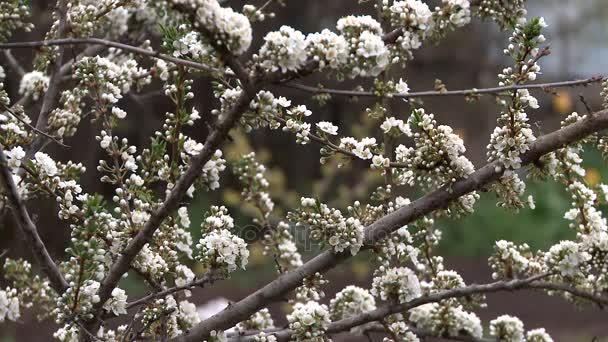 Jarní květ švestky