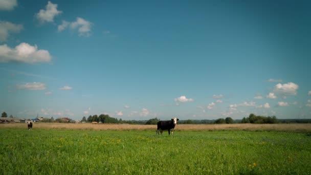 Kráva pasoucí se na louce.