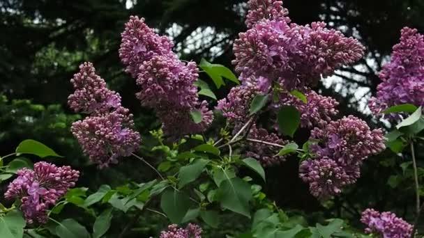 orgona virágzó bokor