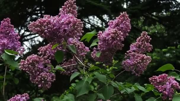 kvetoucí šeřík Bushe