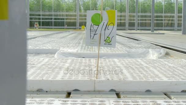 semínka rajčat ve skleníku