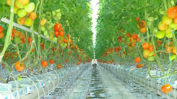 Zralé přírodní rajčata pěstování