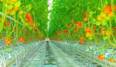 Ripe natural tomatoes growing on a branch greenhouse