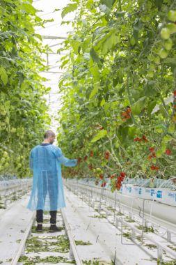male worker in greenhouse