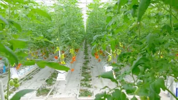 Zralé přírodní rajčata