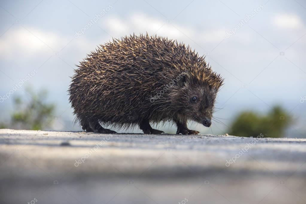 Young beautiful hedgehog